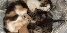 """Vierfach-Katzenmama """"adoptiert"""" drei weitere Babys"""