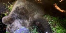 120-Kilo-Bär attackiert Polizist in den Alpen