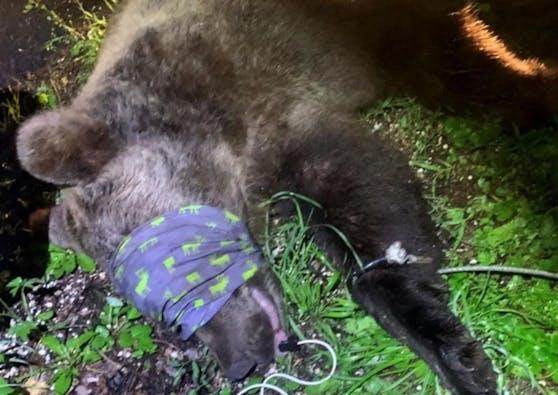 Der Bär wurde nach dem Vorfall gefangen und betäubt. Er wurde in ein gesichertes Gehege gebracht.