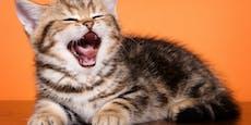 Drei Dinge, die dir deine Katze durch Gähnen vermittelt