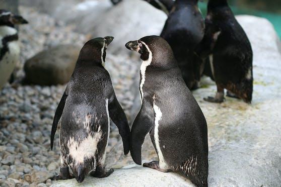Ein Pinguin-Paar in Valencia darf sich über Nachwus freuen.