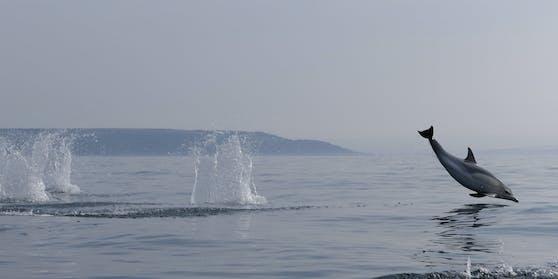 Besonders schön zu beobachten war wie die Delfine spielten und immer wieder aus dem Wasser sprangen.