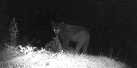 Mahlzeit! Der Bär lässt es sich offensichtlich schmecken.
