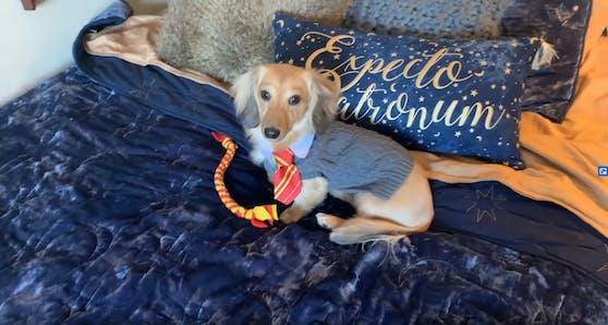 """Ein All-Over-Harry Potter-Look: Dackel Remus als Zauberschüler in Hogwarts, der Schule für Hexerei und Zauberei in """"Harry Potter"""""""