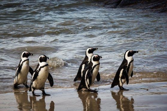 Pinguin-Fans dürfen sich jeden Abend über eine Pinguin-Parade freuen.
