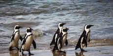 Entzückend: Pinguin-Parade begeistert das Netz