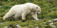 Eisbär tötet Mann auf Spitzbergen und wird erschossen