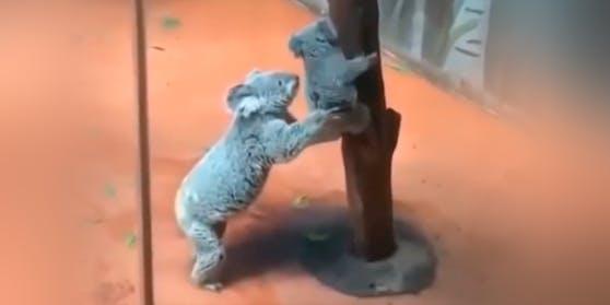Koala-Mama hilft ihrem Baby beim Abstieg