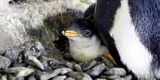 Lesbische Pinguine bringen Nachwuchs zur Welt
