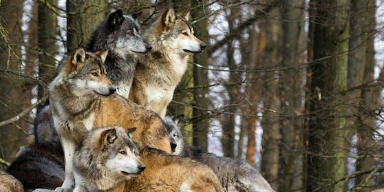 Ein Wolfsrudel (Symbolbild)