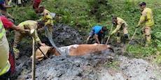 Vermisste Kuh aus Schlammloch gerettet