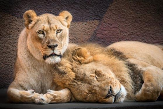 Hubert und Kalisa waren seit 2014 die Stars des Los Angeles Zoos