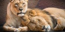 Deshalb musste Löwen-Pärchen Hubert und Kalisa sterben