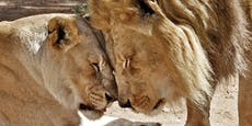 Zoo tötet beliebtes Löwen-Pärchen Hubert und Kalisa
