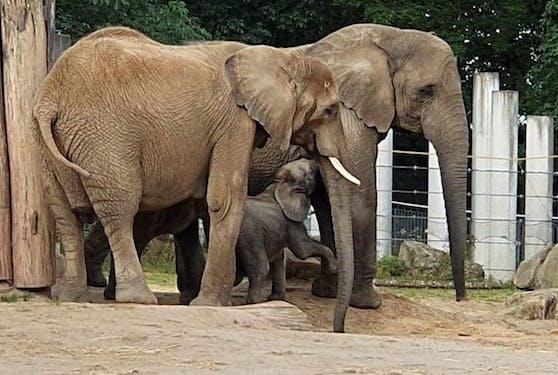 In der überschaubaren Familienstruktur von Elefanten gibt es immer eine Leitkuh. Meist ist sie das älteste Tier.