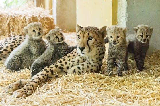 Geparden-Weibchen Afra hat am 22. Juni Nachwuchs bekommen.