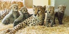 Vierfacher Nachwuchs bei Geparden in Schönbrunn