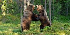 11-jähriger Bub von Bären attackiert und zerfleischt