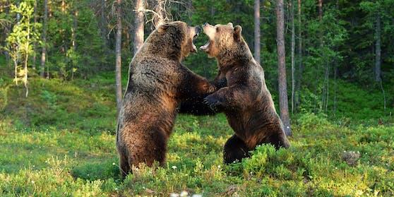 Der Bub wurde von zwei Bären attackiert und getötet.