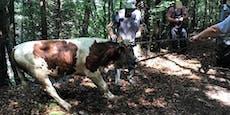Stier bis zum Hals im Wasser – aus Inn gerettet