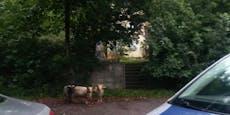 Happy End für ausgebüxte Schafe, alle sind wieder da