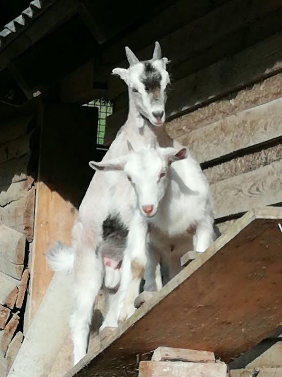 Die beiden Ziegen in Dürnrohr.