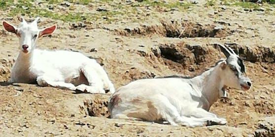 Die beiden geretteten Ziegen.