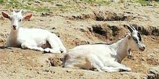 Ziegen vor Schlachter gerettet, nun nerven sie Nachbarn