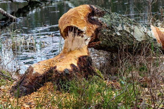 Der Landwirt wurde von einem 24 Meter hohen Baum erschlagen.