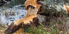 Landwirt von 24 Meter hohem Baum erschlagen