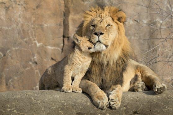 Tierpfleger aus dem Marghazar Zoo wollten die beiden Löwen mit Feuer in Transportboxen treiben. (Symbolbild)