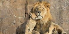 Nach qualvollem Tod von zwei Löwen wird Zoo geschlossen