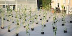 Diese Maispflanzen gehen auf soziale Distanz