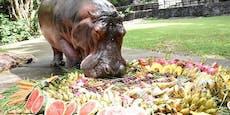 Ältestes Nilpferd: Hippo-Oma feiert Geburtstag