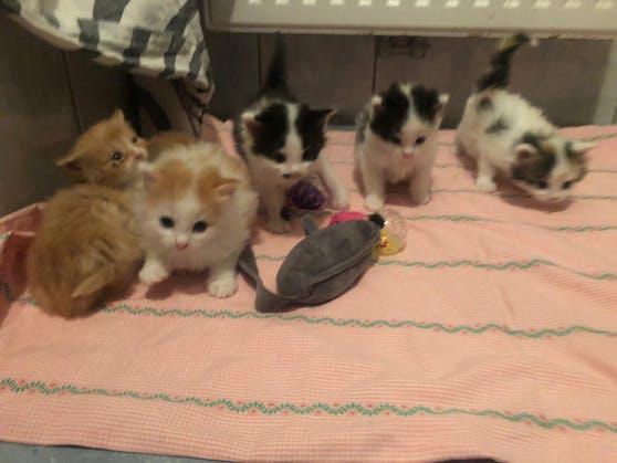 Im Tierheim Freistadt müssen derzeit 40 Katzenbabys versorgt werden.