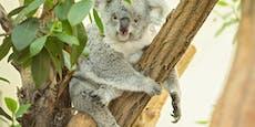 Erstmals Koala-Baby in Schönbrunn