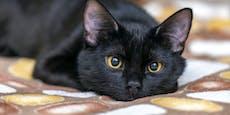 Schwarze Katzen werden seltener vermittelt