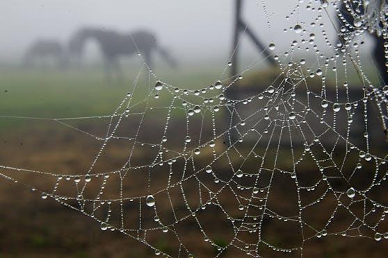 Ein Spinnennetz mit Tautropfen vor einer Pferdekoppel