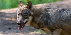 DNA-Test belastet Wolf schwer