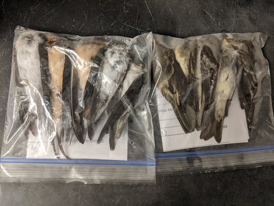 Massensterben von Zugvögeln im Westen der USA stellt Forscher und Behörden vor Rätsel (13. September 2020)