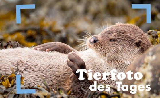 Dieser chillige Otter lebt auf den Shetlandinseln in täglicher Freitagsstimmung.