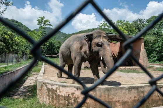 """Was mit Kaavan, dem """"einsamsten Elefanten der Welt"""" passiert, ist noch nicht sicher."""