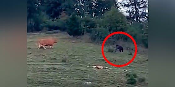 Die Kuh wich keinen Meter zurück.
