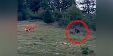 Sture Kuh schlägt wilden Braunbären in die Flucht