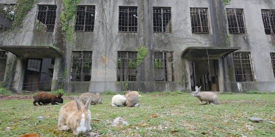 Kaninchen in den Ruinen einer Senfgasfabrik. Nach dem Krieg wurden die Fabriken verlassen und die Kaninchen angeblich freigelassen - nun durften sie sich austoben.