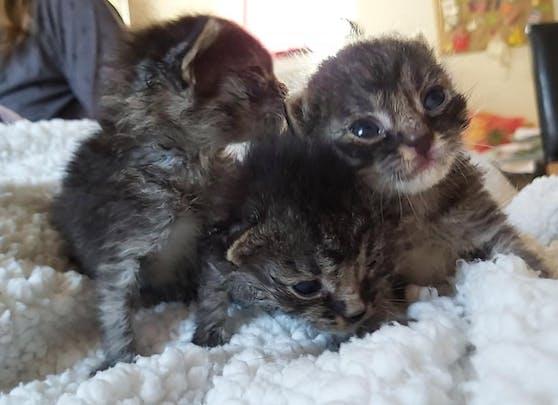 Die Tierrettung muss immer mehr Katzenbabys versorgen.