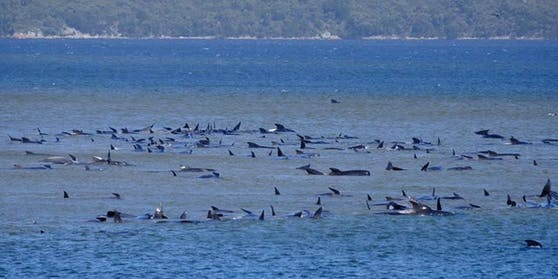 Vor der Küste der australischen Insel Tasmanien ereignete sich ein Natur-Drama.