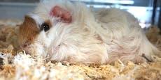 Simmering: Sechs Meerschweinchen herzlos ausgesetzt