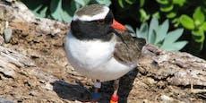 Bedrohte Vögel sterben bei Tierschutz-Versuch