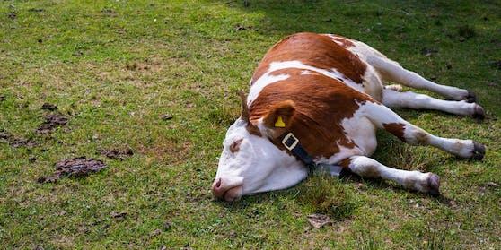 Symbolfoto einer schlafenden Kuh.